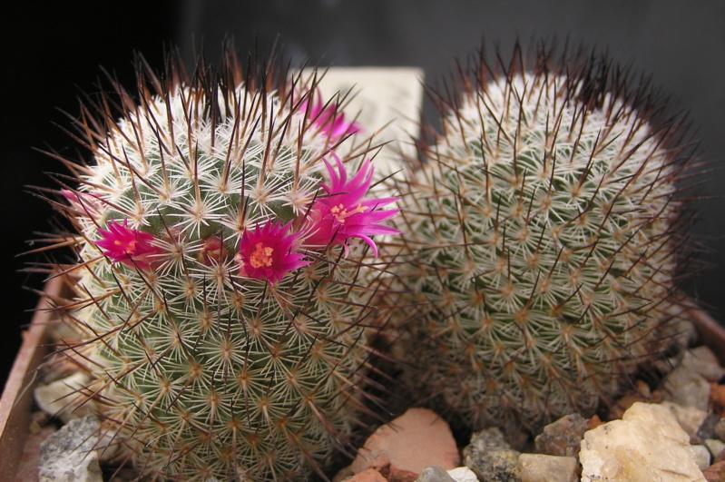 Cactus under carbonate. 19. M_meis10
