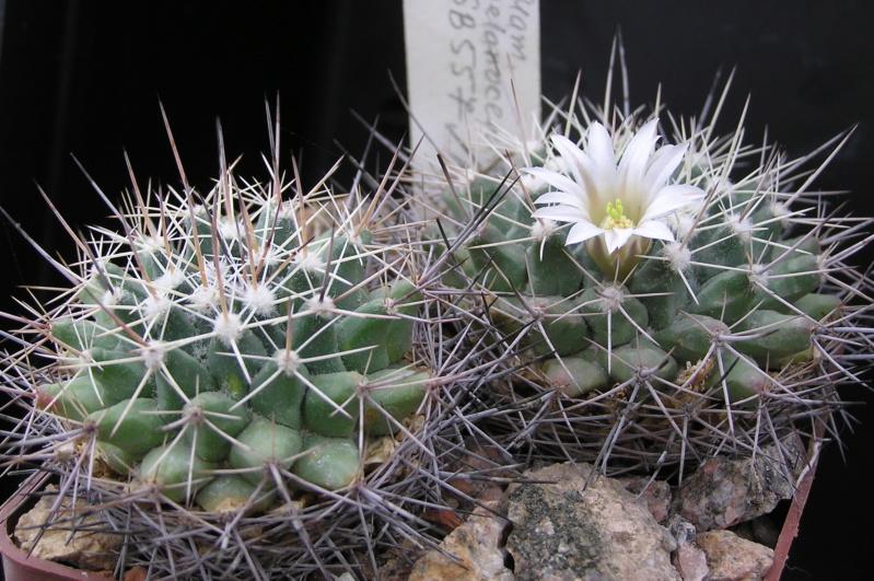 Cactus under carbonate. 19. M_mela12