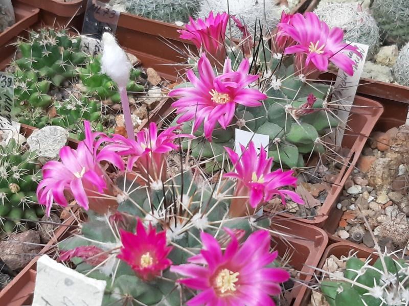 Cactus under carbonate. 19. M_mela13