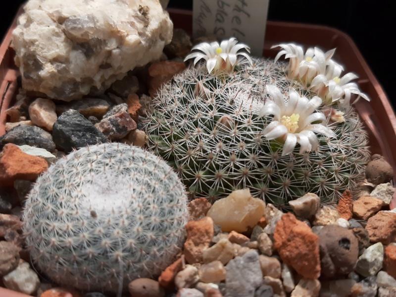 Cactus under carbonate. 19. M_micr10