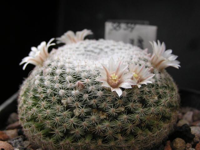 Cactus under carbonate. 19. M_micr12