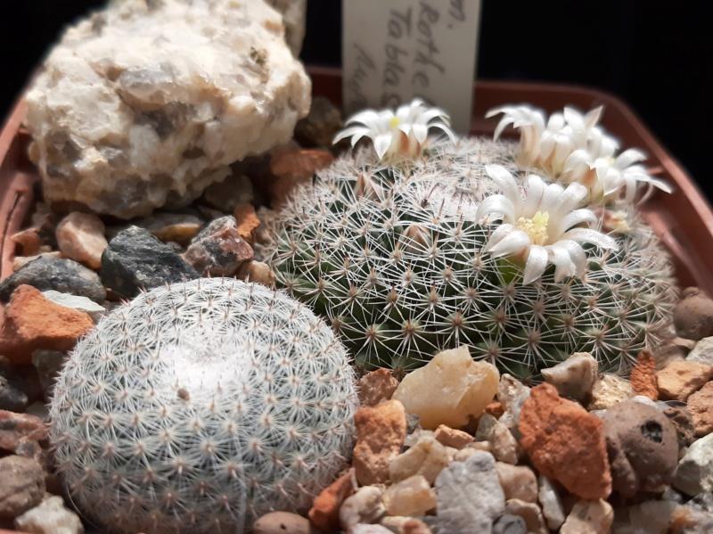 Cactus under carbonate. 19. M_micr13