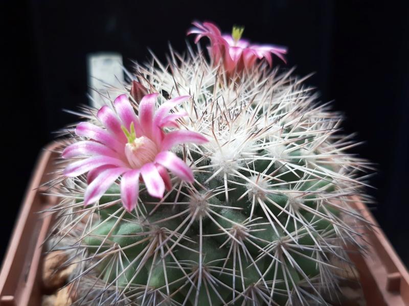 Cactus under carbonate. 19. M_mieg10