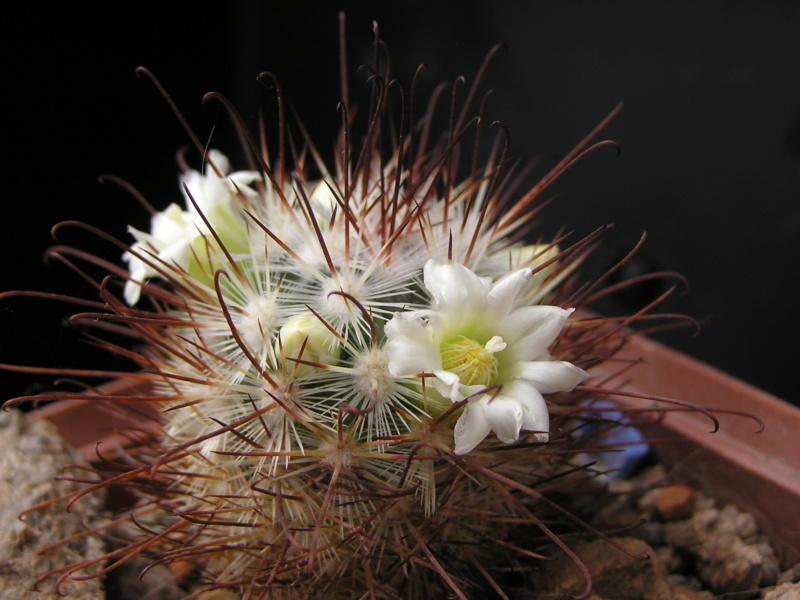 Cactus under carbonate. 19. M_moel10