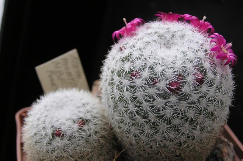 Cactus under carbonate. 19. M_mont11