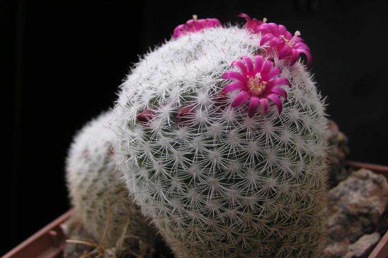 Cactus under carbonate. 19. M_mont12