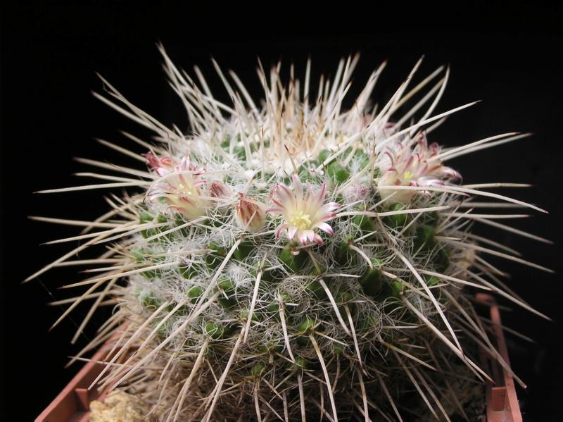 Cactus under carbonate. 19. M_neja12