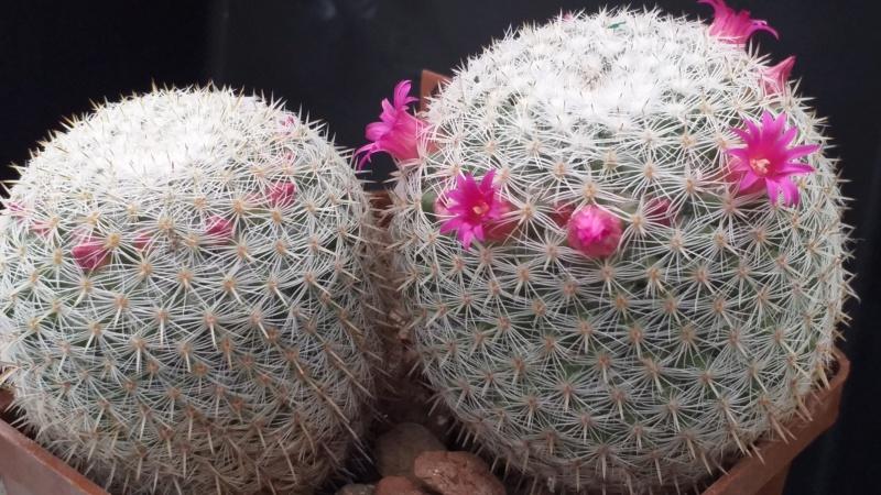 Cactus under carbonate. 19. M_neur10