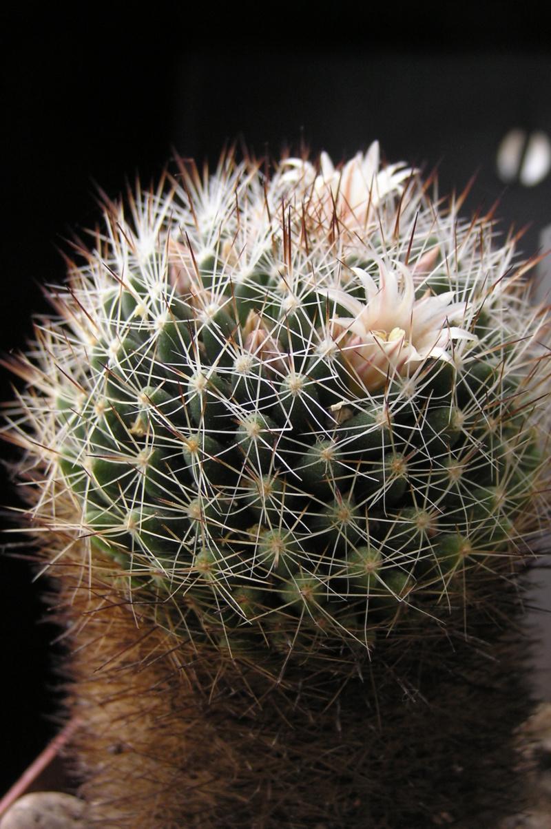 Cactus under carbonate. 18. M_pict10