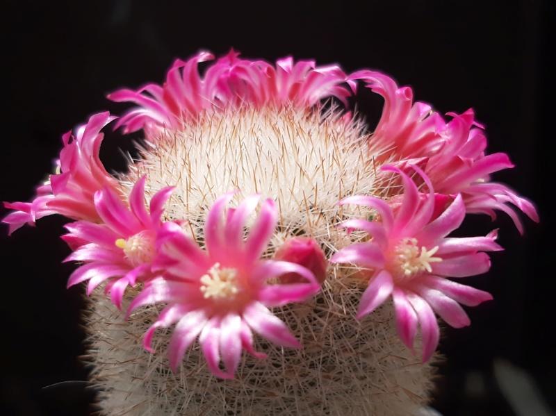 Cactus under carbonate. 19. M_pilc12