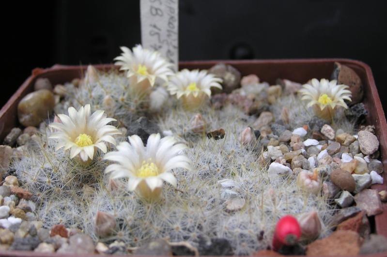 Cactus under carbonate. 19. M_prol11