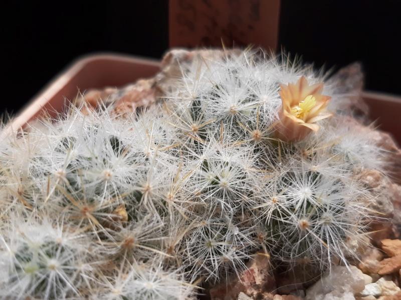 Cactus under carbonate. 19. M_prol12