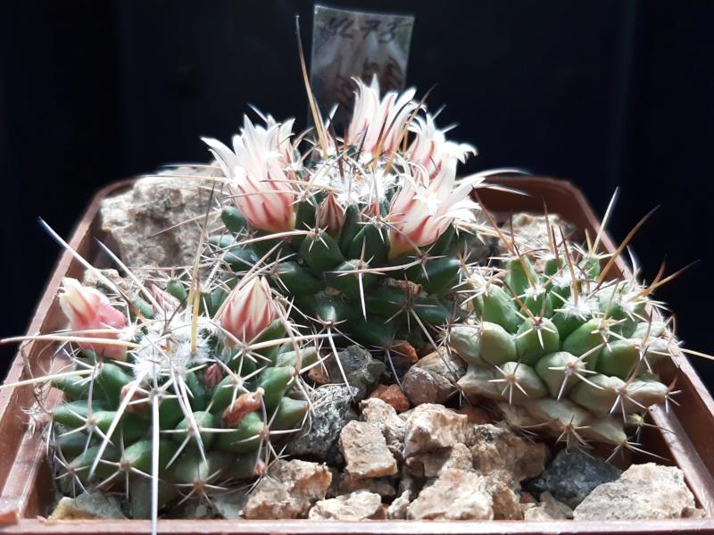 Cactus under carbonate. 19. M_saxi10