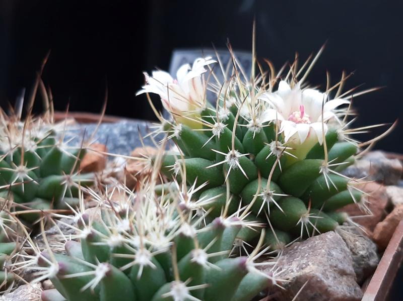 Cactus under carbonate. 19. M_saxi12