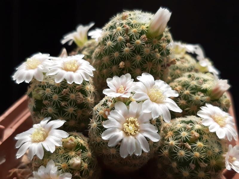 Cactus under carbonate. 19. M_schi10