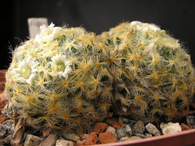 Cactus under carbonate. 19. M_schi11
