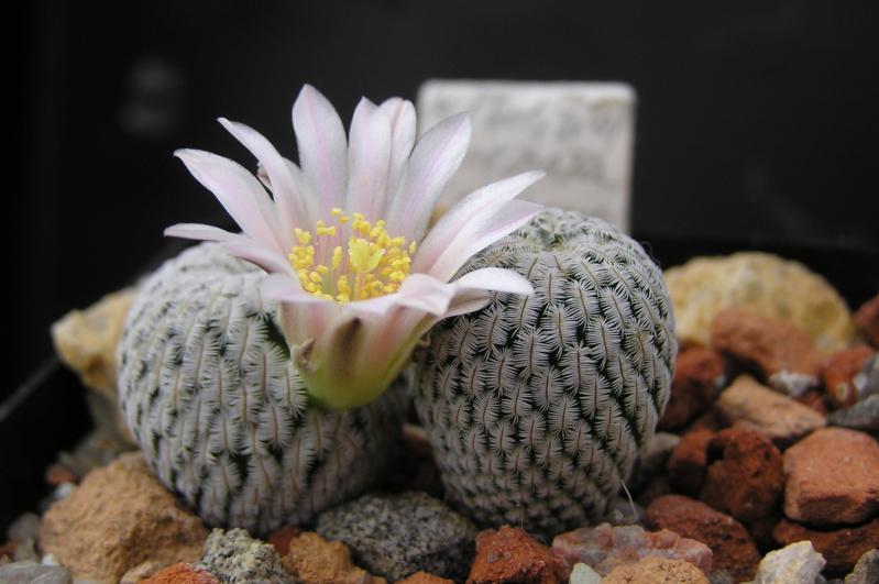 Cactus under carbonate. 18. M_soli10