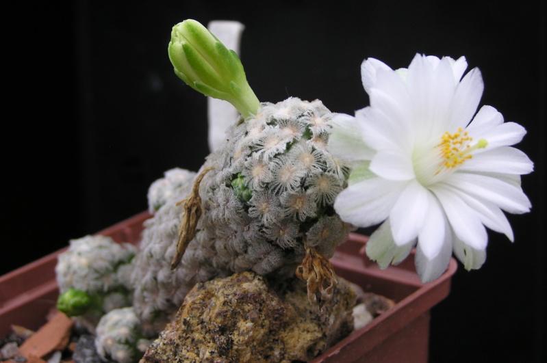 Cactus under carbonate. 19. M_ther10