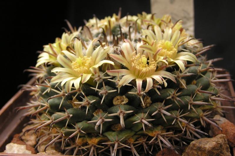 Cactus under carbonate. 19. M_unci10