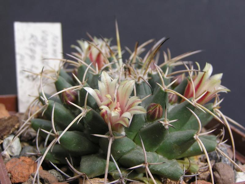 Cactus under carbonate. 17. Started! M_vaga10