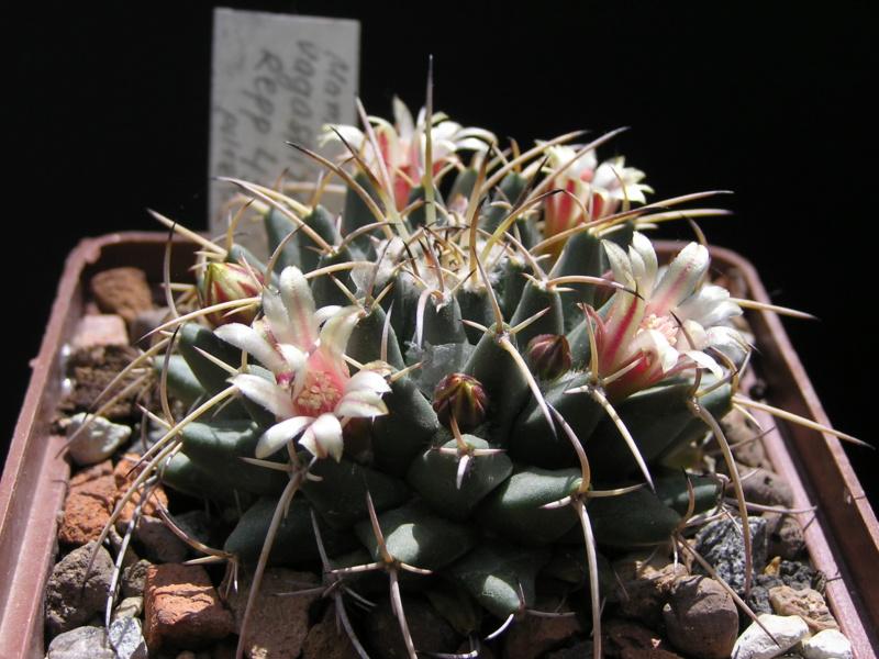 Cactus under carbonate. 17. Started! M_vaga11