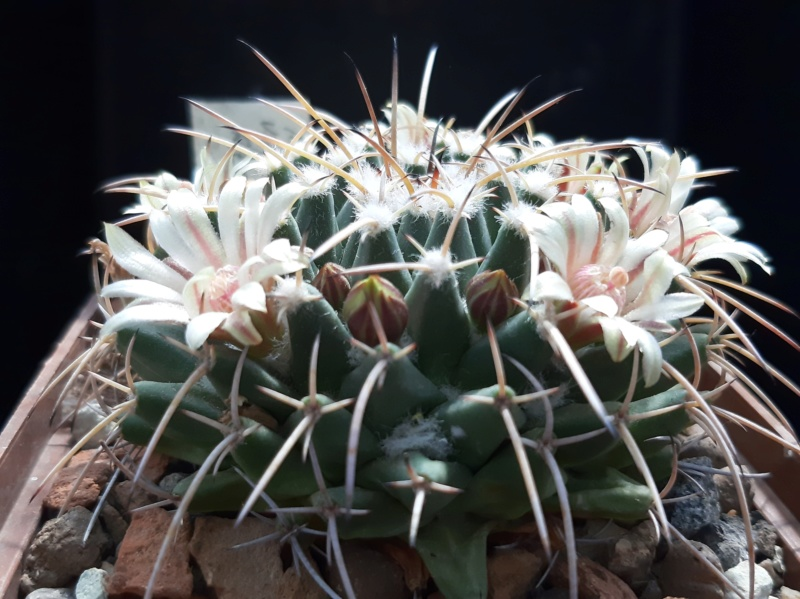 Cactus under carbonate. 19. M_vaga13