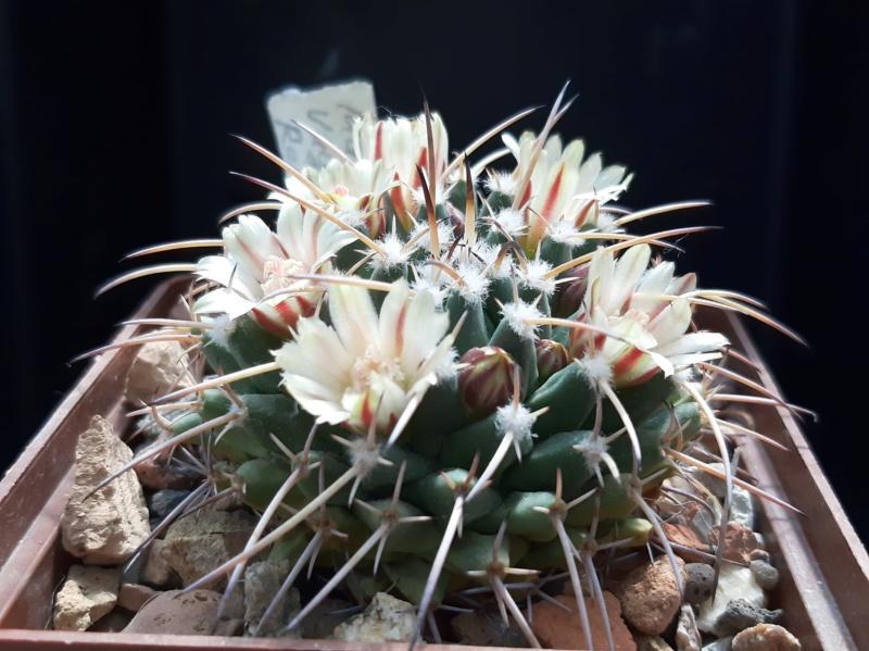 Cactus under carbonate. 19. M_vaga14