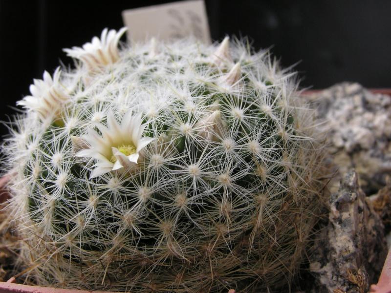 Cactus under carbonate. 19. M_vier11