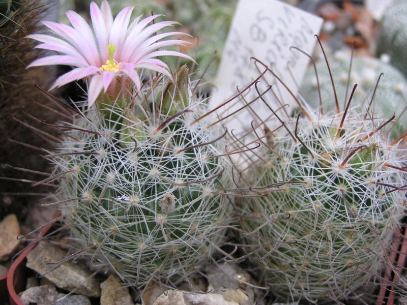 Cactus under carbonate. 17. Started! M_viri11