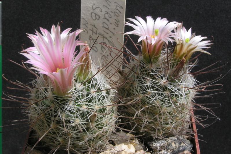 Cactus under carbonate. 17. Started! M_viri12