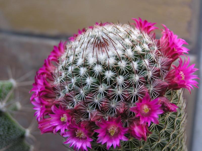 Cactus under carbonate. 19. Mam_ma10