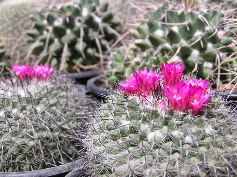 Cactus under carbonate. 19. Mam_me10