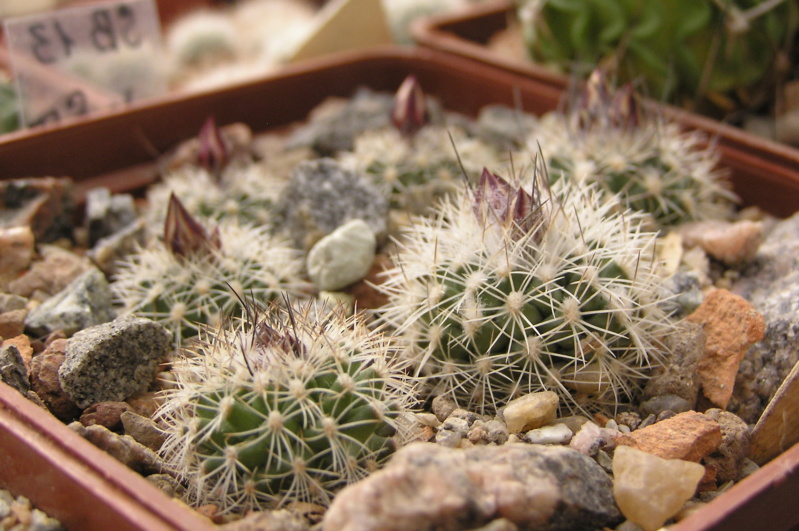 Cactus under carbonate. 18. P1010011