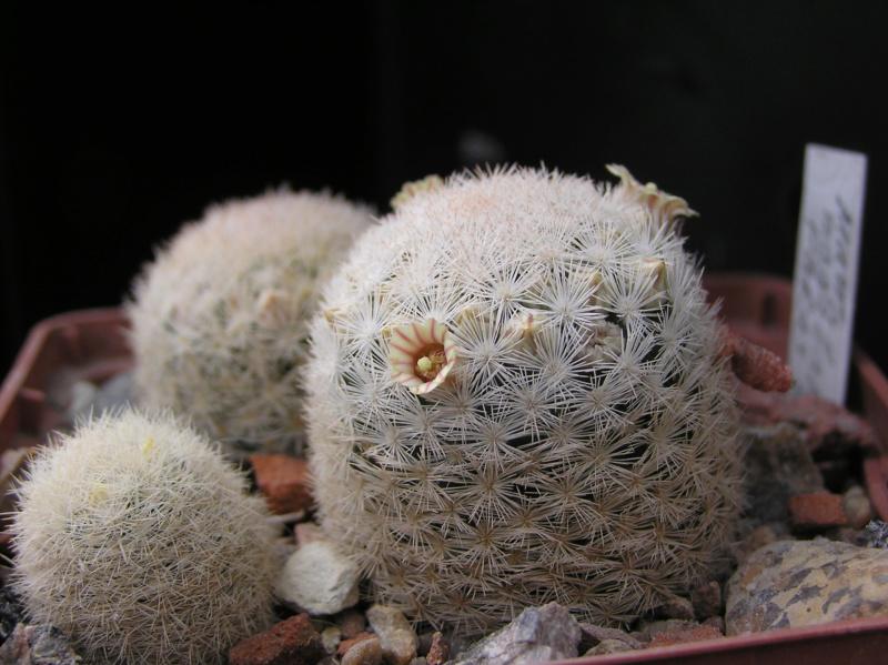 Cactus under carbonate. 18. P1010014