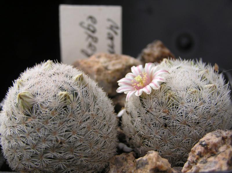 Cactus under carbonate. 18. P1010016