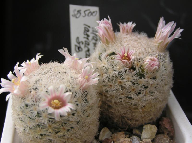 Cactus under carbonate. 18. P1010018