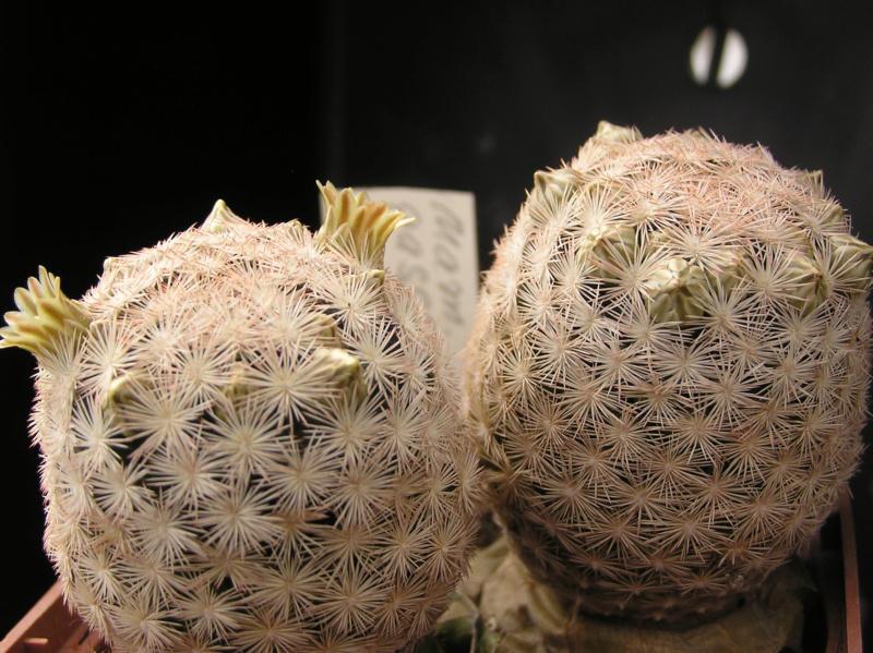 Cactus under carbonate. 18. P1010019