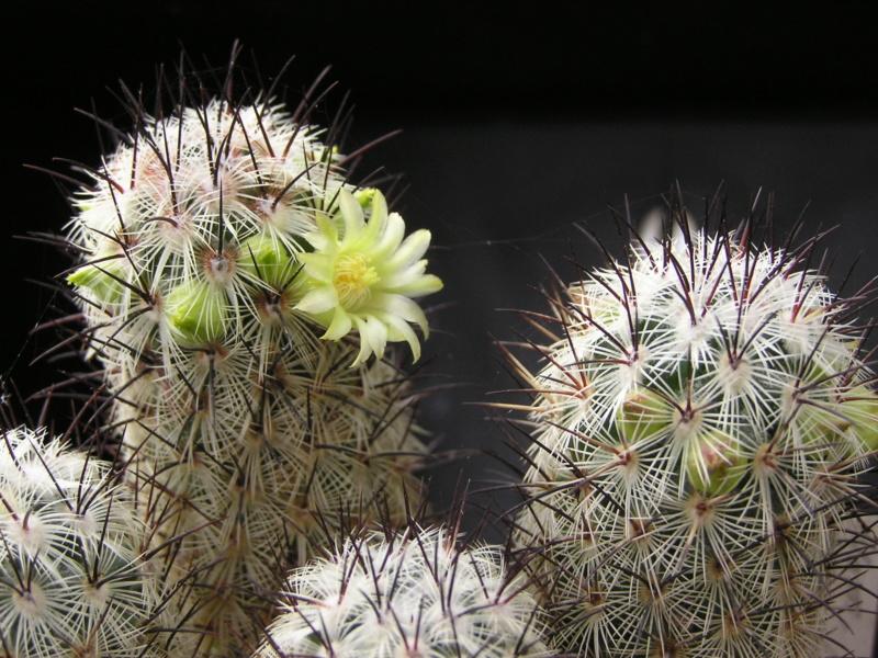 Cactus under carbonate. 18. P1010023