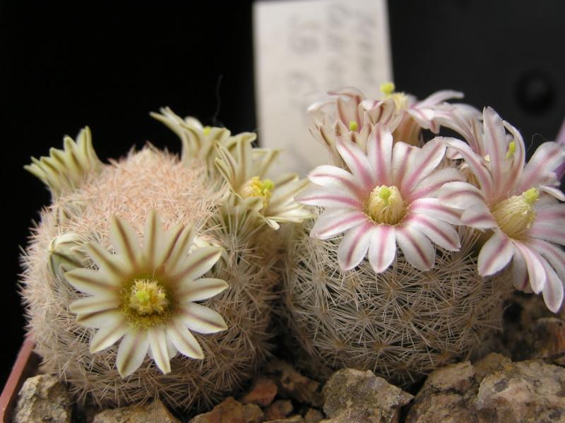 Cactus under carbonate. 18. P1010024