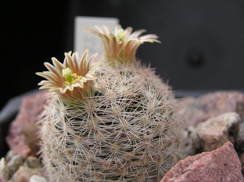Cactus under carbonate. 18. P1010025