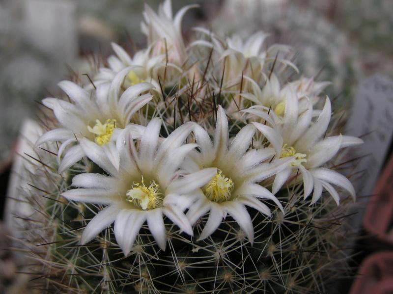 Cactus under carbonate. 18. P1010026