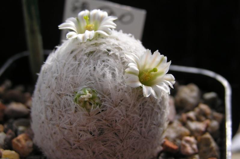 Cactus under carbonate. 20. P1010027