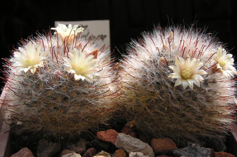 Cactus under carbonate. 20. P1010030