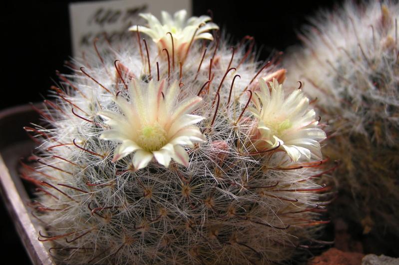 Cactus under carbonate. 20. P1010031