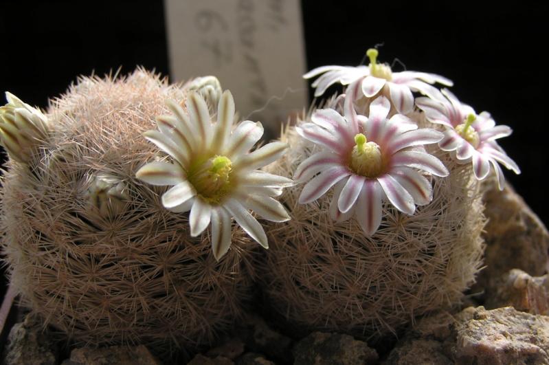 Cactus under carbonate. 20. P1010032