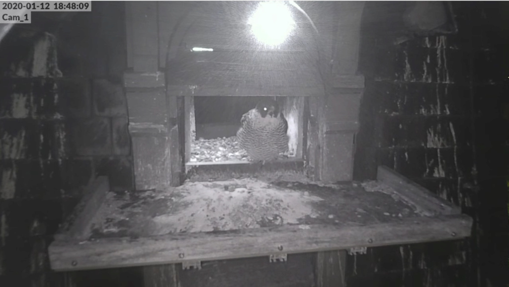 Les faucons pèlerins d'Illkirch-Graffenstaden. Flashblack en Valentine. - Pagina 3 Scher397