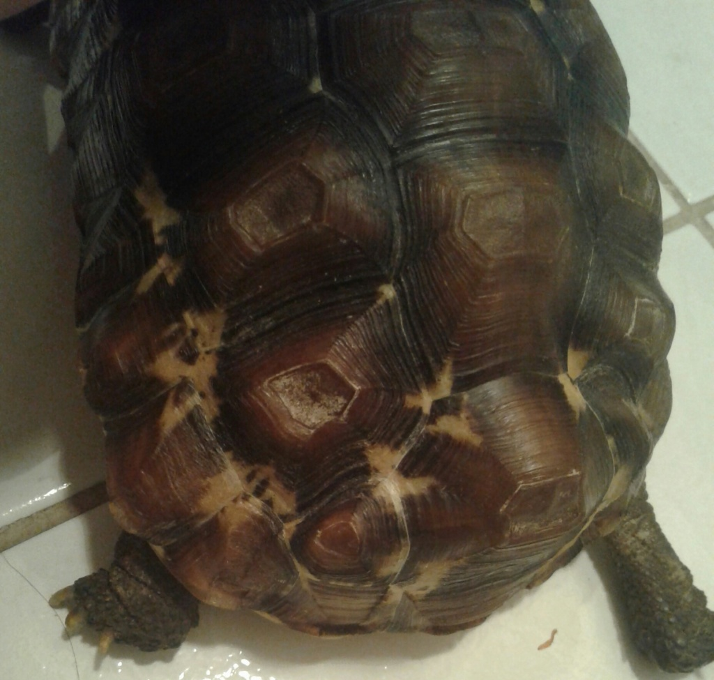 ma tortue Charly : une Kinixys belliana nogueyi ? Charly14