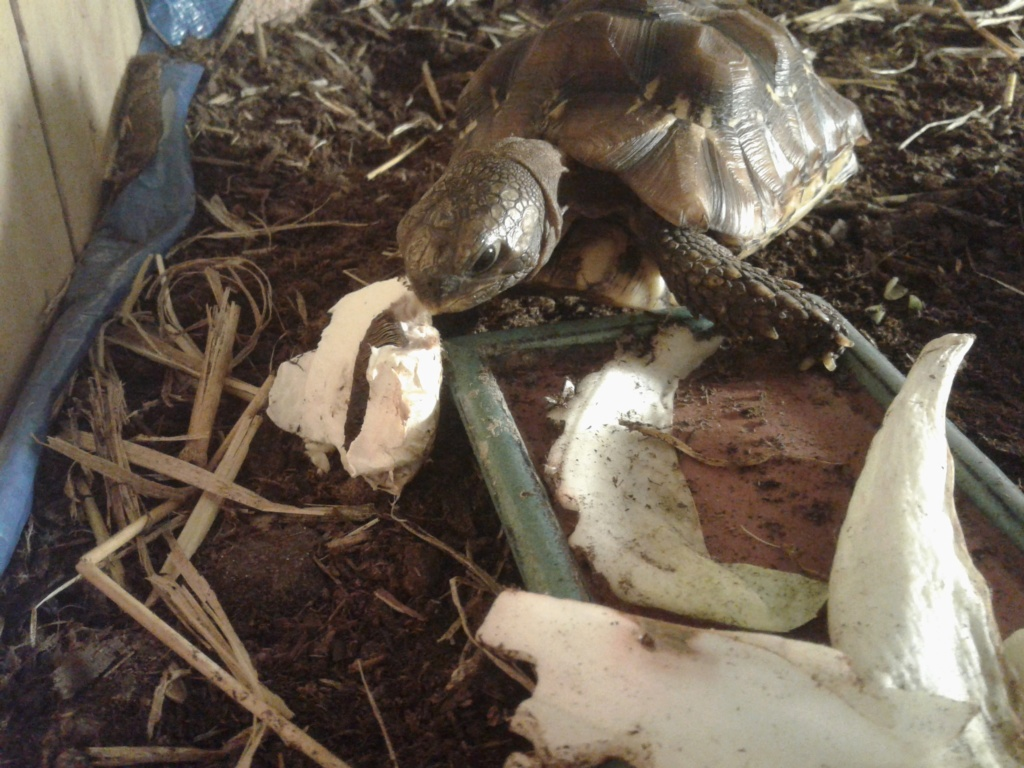 ma tortue Charly : une Kinixys belliana nogueyi ? Charly15
