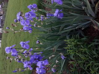 un grand bleu lavande à identifier Iris_b10