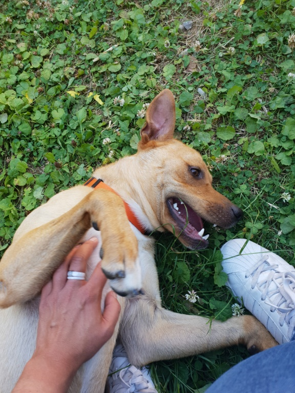 Flash, mâle castré croisé Labrador 20180610